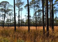 Ochlockonee River State Park - long-leaf pine and wiregrass habitat along drive on nature trail