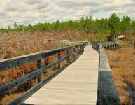 Dwarf Cypress Boardwalk - boardwalk over ancient dwarf cypress trees